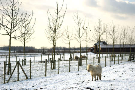 winterday: a shetland pony is walking in the snow on a sunny winterday Stock Photo