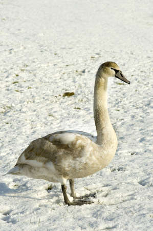 winterday: a white swan standing in the snow on a sunny winterday Stock Photo