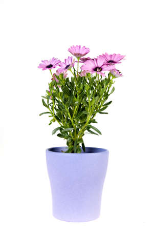 lila: a spanish daisy in a lila vase on a white background