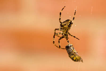 a spider and a wasp in a web photo