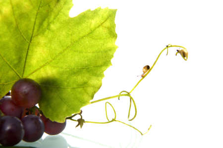 grapes with a leave and two little snails Stock Photo - 7958733