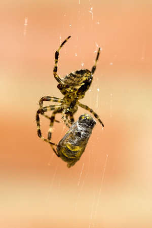 a spider and a wasp in a web Stock Photo - 8211052