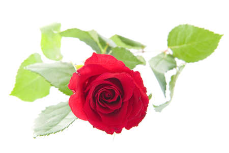 A beautiful red rose on a white background Stock Photo - 8324511