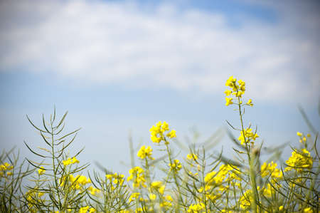 coleseed: a field of coleseed against a blue sky Stock Photo