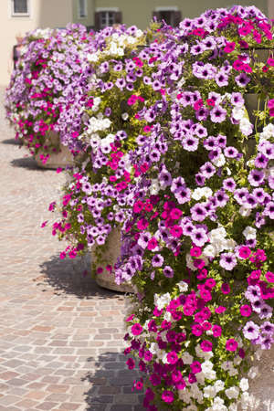 a lot of petunias in the city photo