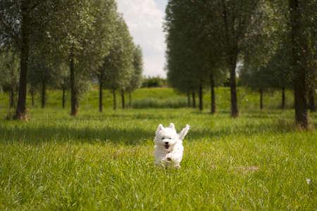 a maltese running on grass, outside Stock Photo