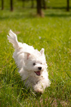 a maltese running outside