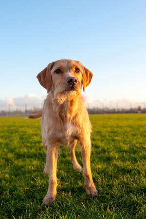 winterday: a brown dog, outside in nature, on a sunny winterday Stock Photo