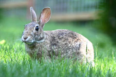 A cute Eastern Cottontail rabbit sitting and eating grass in Washington State.