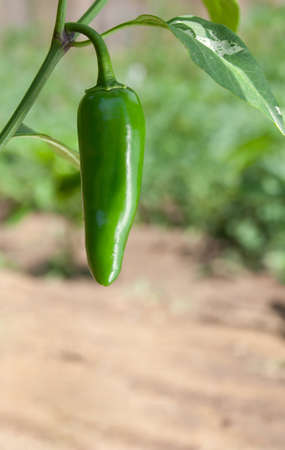 jalapeno pepper: Capsicum Annuum (Jalapeno Pepper on the plant)
