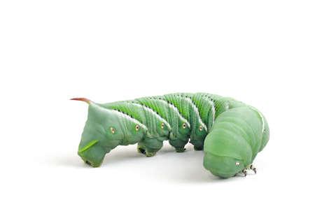tomato caterpillar: Tobacco Hornworm (Manduca Sexta) on a white background. Stock Photo