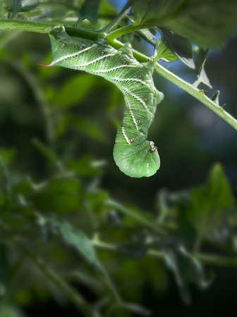 tomato caterpillar: Tobacco Hornworm (Manduca Sexta) hanging from a Tomato Plant