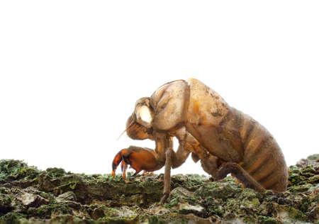 Cicada (Cicadidae) exoskelet klampt zich vast aan een boom met een zuivere witte achtergrond. Focus gestapeld voor maximale scherptediepte. Stockfoto