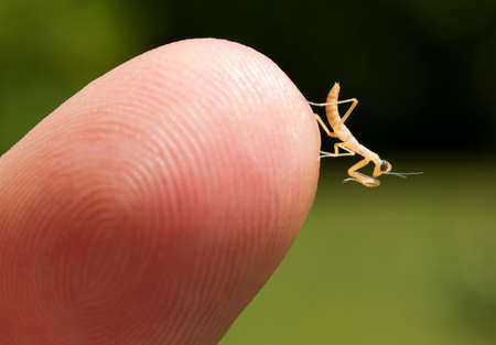 finger tip: Newborn praying mantis nymph  Mantodea  at the tip of a finger
