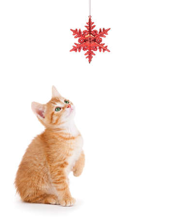 hanging toy: Cute orange kitten playing with a red Christmas snowflake ornament on a white background