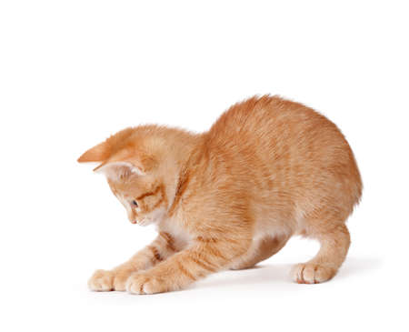 Cute orange kitten with large paws playing on a white background