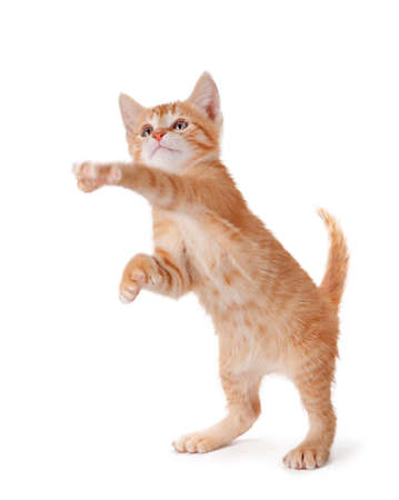 Cute orange kitten with large paws standing on its hind legs playing on a white background