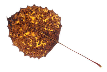 Colorful Fall leaf isolated on white