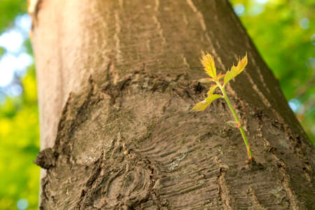 New Branch Growing on an Old Tree in Spring  Stock Photo - 18012712