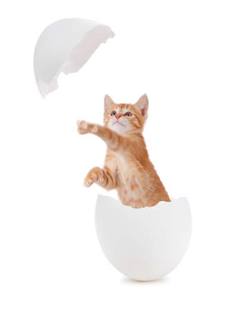 Funny orange kitten hatching from an egg concept
