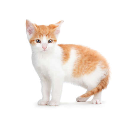 Cute orange and white kitten isolated on white  Stock Photo