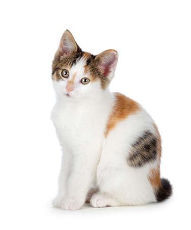 Cute calico kitten isolated on white  Фото со стока