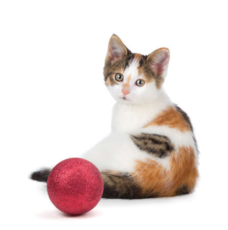 calico cat: Cute calico kitten sitting next to a Christmas Ornament islolated on a white background  Stock Photo