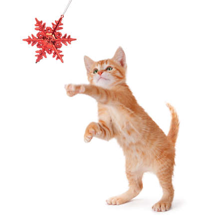 Cute orange kitten playing with a red Christmas snowflake ornament on a white background