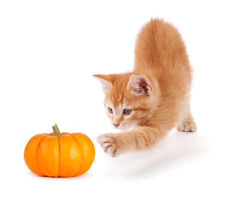 Leuk oranje katje spelen met een mini pompoen geïsoleerd op een witte achtergrond Stockfoto