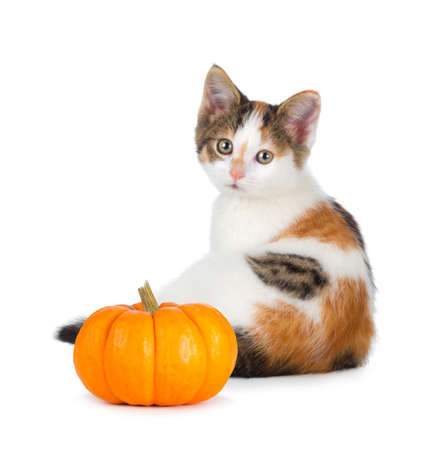 Cute calico kitten with a mini pumpkin isolated on a white background. photo