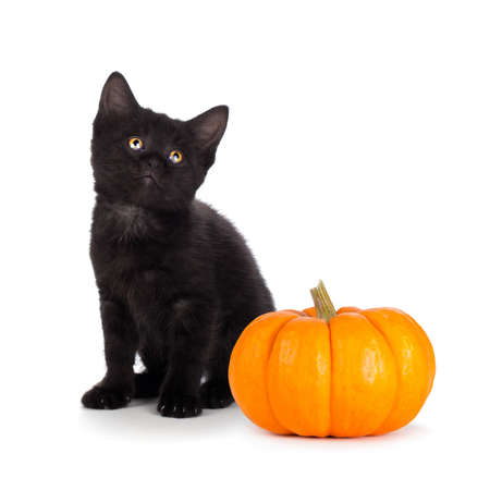 Cute black kitten next to a mini pumpkin isolated on white
