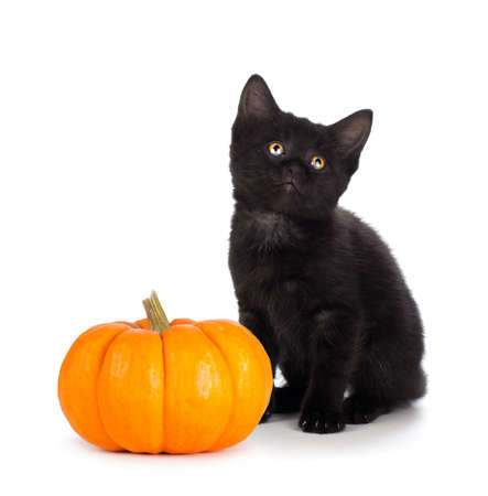 Cute black kitten next to a mini pumpkin isolated on white photo