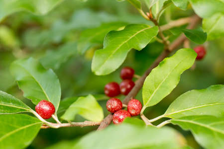 Ripe Autumn Olive Berries (Elaeagnus Umbellata) growing on a branch Stock Photo