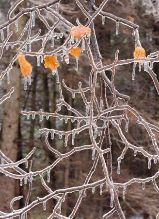 氷で覆われた木の枝、icestorm 後。