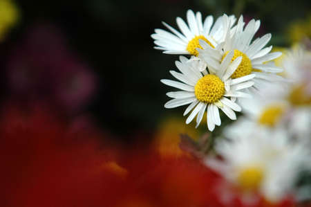 close-up of sunny chamomile field.  Stock Photo - 3920415