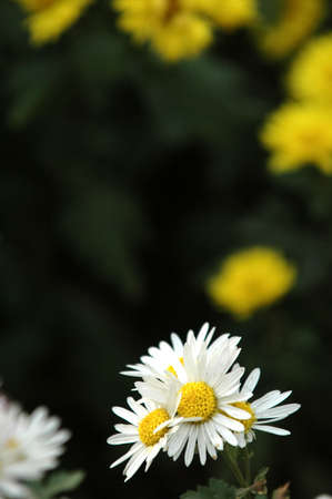 close-up of sunny chamomile field.  Stock Photo - 3920411