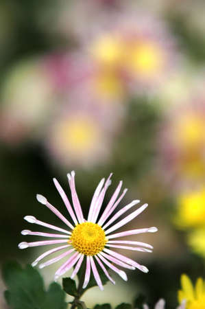 close-up of sunny chamomile field. shallow dof Stock Photo - 3920424