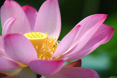 flowering field: close up of a wild lotus flower in a swampland