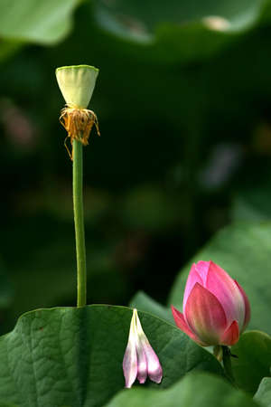 swampland: a wild lotus flower in a swampland