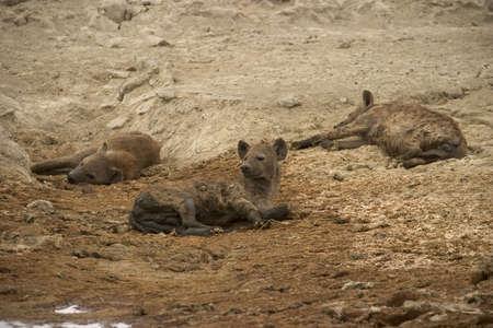 hienas: hyenas que viven en el parque nacional del serengeti, Tanzania - �frica Foto de archivo