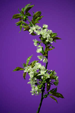 cherrytree: Blossoming twig of cherry-tree on violet background