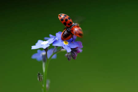 Lady Bird with Forget me not photo