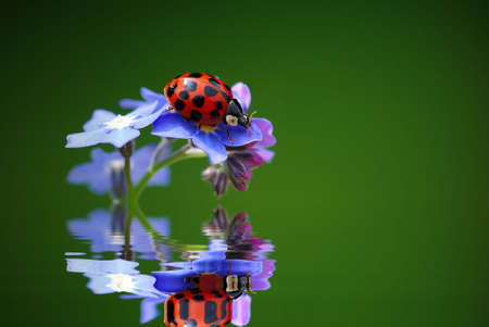reflektion: Lady Bird with Forget me not  and Water reflektion