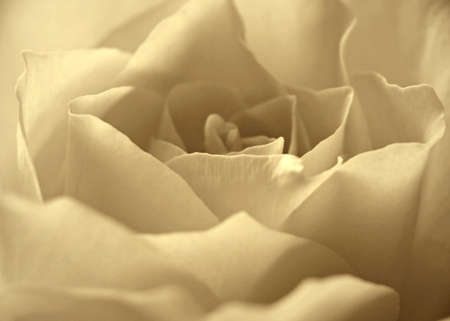 Sepia Rose Stock Photo - 8507231