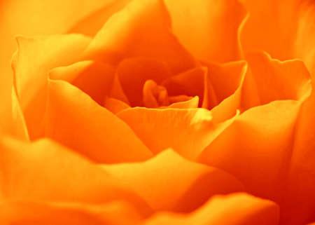 Yellow Rose Stock Photo - 8507230