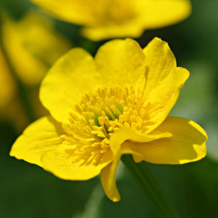buttercup: Meadow buttercup Stock Photo