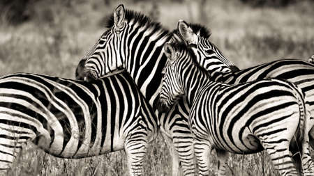 A pack of zebras