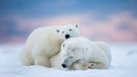 Twee ijsberen die op de sneeuw slapen