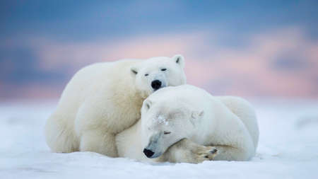 Two polar bears sleeping on the snow