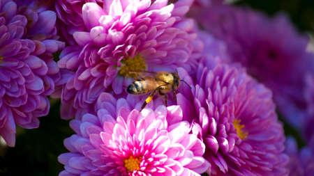 A bee in a bunch of purple flowers